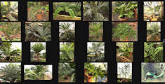 The Succulent Plant Page Wall of Gymnosperm Images
